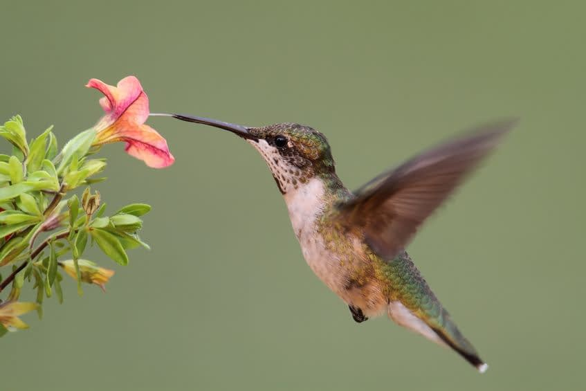 hummingbirds vision